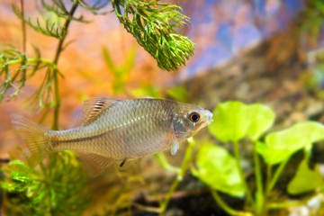 Rhodeus amarus, European bitterling, young male ornamental freshwater fish in biotope aquarium, side view nature photo