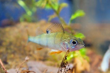 Perca fluviatilis, European perch, freshwater predator fish stares at camera in biotope aquarium, close-up nature photo