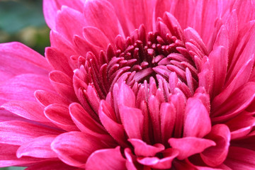 Freshness red chrysanthemums flowers of close up