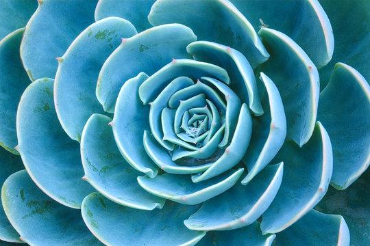 Sky blue Succulent plants rosette ornamental of close up