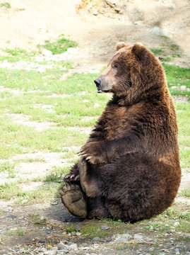 Comical Pose of an Adult Grizzly Bear Sitting Holding His Feet