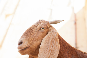 Profile view of Indian Goat