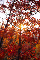 Sunset in the red forest