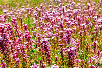 Sea of Pink Flowers in a Field