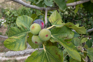 Fresh figs on a tree (three green immature and one ripe)