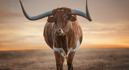 Foto op Canvas Texas cow on the beach