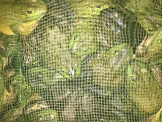 A lot of bullfrogs, in the net pocket