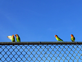Two pairs of peach-faced lovebirds on a fence in Phoenix, Arizona