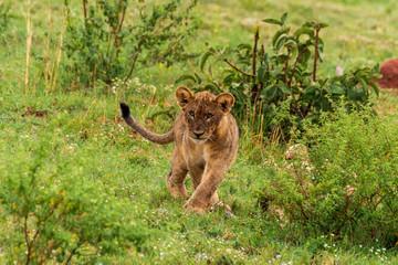 Lion in Welgevonden Game Reserve