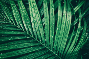 rain droplets on green tropical palm leaf, purity nature background Wall mural