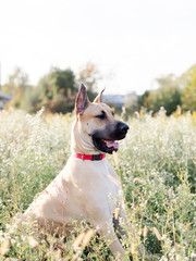 Portrait of a Great Dane Dog