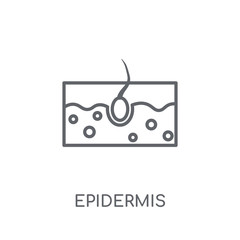 Epidermis linear icon. Modern outline Epidermis logo concept on white background from Health and Medical collection