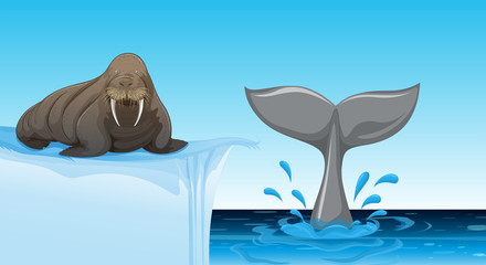 A walrus on ice floe