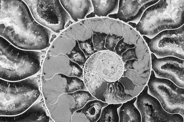 Ammonite Fossil in black and white