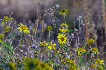 Last yellow chrysanthemums coronarium near dry stems
