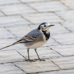 Closeup portrait of a small gray wagtail