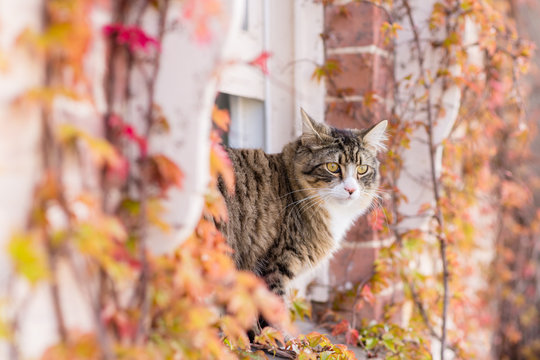 tabby cat at window with autumn leaves