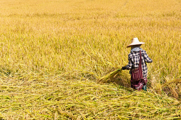 farmer harvesting rice in rice field