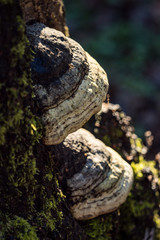 two big white mushrooms grow on moss covered tree trunk under the sun