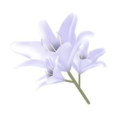 Bouquet of pastel blue lilies.