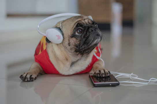Adorable pug dog laying on the floor and listen music from mobile phone.
