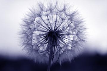 dandelion seeds close up
