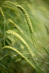 Barley grain is used for flour, barley bread, barley beer, some whiskeys, some vodkas, and animal fodder. Vertical orientation