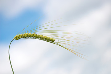 Single green barley plant against blue spring sky. Barley grain is used for flour, barley bread, barley beer, some whiskeys, some vodkas, and animal fodder. Space for text
