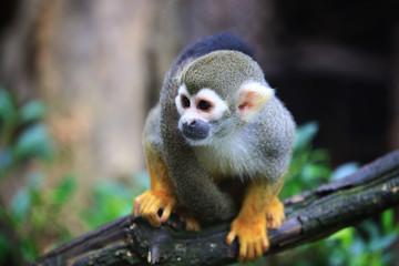 Squirrel monkey, (genus Saimiri)  on the timber