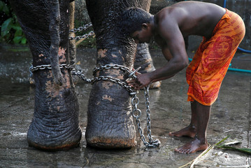 A mahout ties a chain around the legs of his elephant after bathing it during the annual eight-day long Vrischikolsavam festival at Sree Poornathrayeesa temple in Kochi