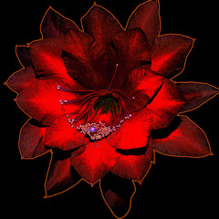 Picture of Epiphyllum cactus flower obtained by computer processing of photography