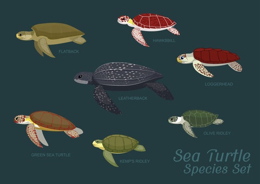 Various Sea Turtle Species Set Cartoon Vector Illustration