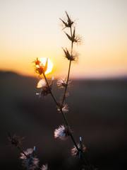 small wildflower in the sunset