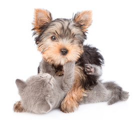 Playful Yorkshire Terrier puppy playing with a kitten. isolated on white background