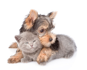 yorkshire terrier puppy embracing little kitten. isolated on white background