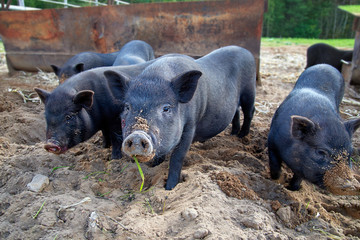 Three black pigs grazing on a pig breeding farm. Symbol of the 2019 on the Chinese calendar. Growing pigs. Cute piglets. Portrait of an animal