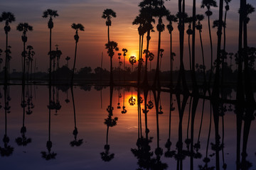 sunrise skyline and sugar palm tree with shadow mirror on water