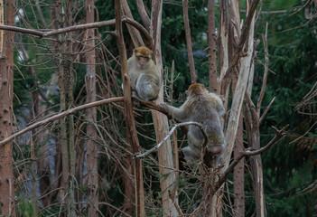 Macaca Monkeys in tree