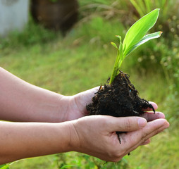 Close up Human Hands Holding fresh green Plant with Soil