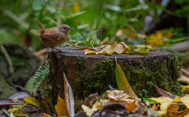 Wren songbird in forest