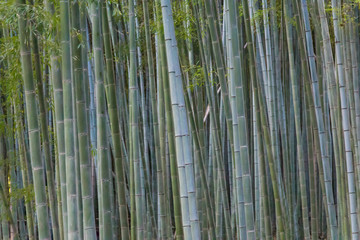 Bamboo forest at Arashiyama, Japan