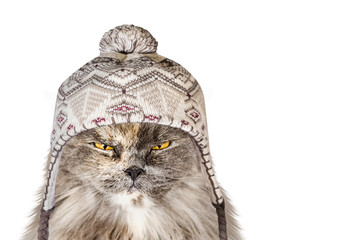 funny British cat in a hat on an isolated background in winter is warm from the cold