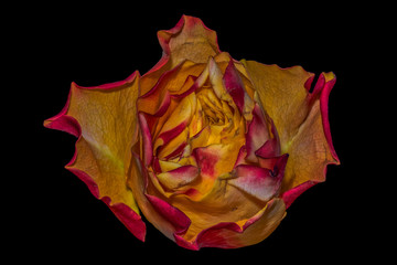 Fine art still life colorful macro portrait image of a single isolated orange red yellow rose blossom in surrealistic vintage painting style on black background