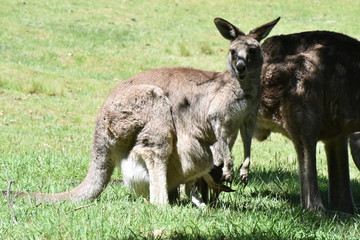 オーストラリア 野生のカンガルー