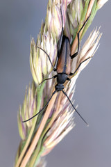 Longhorn beetle, also called longicorn, Leptura melanura