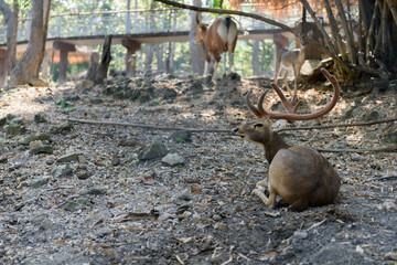 Brow antlered deer in Chiang Mai Zoo , Chiang Mai Thailand