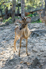 Common barking deer in Chiang Mai Zoo , Chiang Mai Thailand