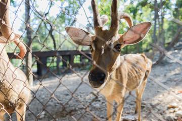 Common barking deer in Chiang Mai Zoo , Chiang Mai Thailand