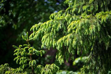 green branches of young spruce