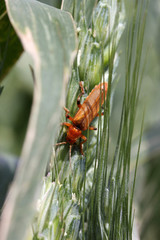 red insect on wheat